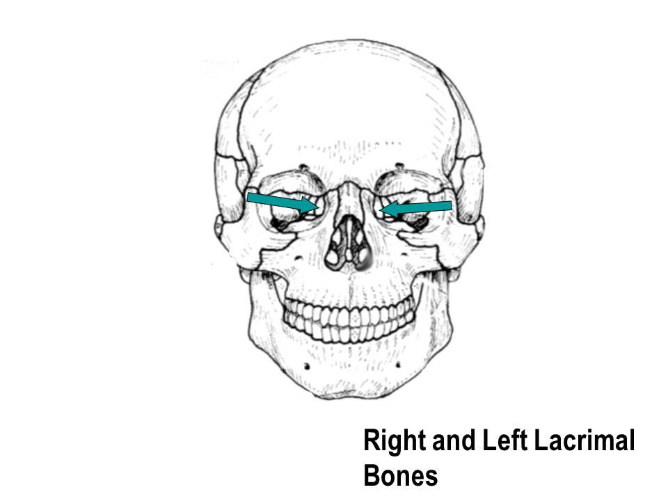Right and Left Lacrimal Bones