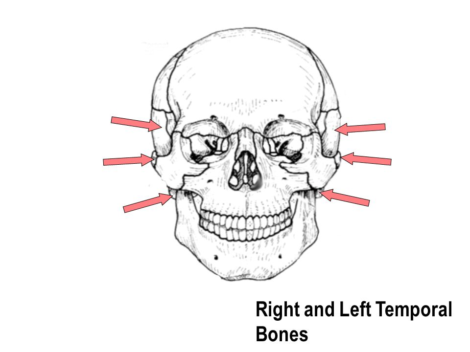Right and Left Temporal Bones