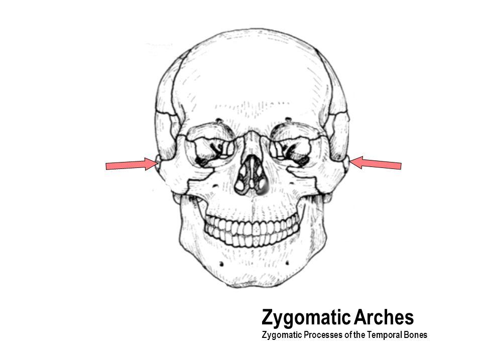 Zygomatic Arches Zygomatic Processes of the Temporal Bones