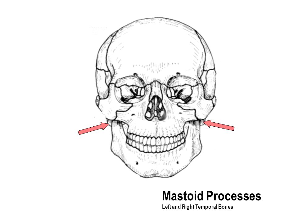 Mastoid Processes Left and Right Temporal Bones
