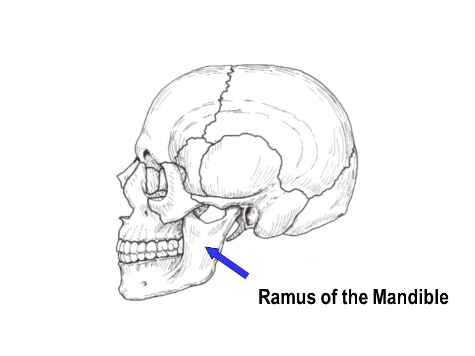 Ramus of the Mandible