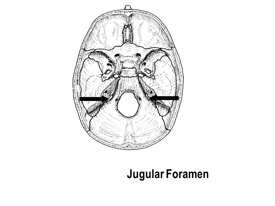 Jugular Foramen The part with the holes The part with the holes
