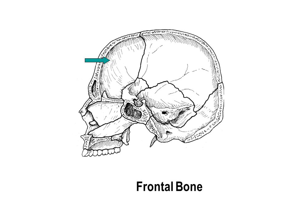 Frontal Bone The part with the holes The part with the holes