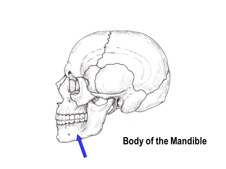 Body of the Mandible