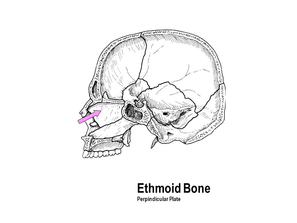 Ethmoid Bone Perpindicular Plate The part with the holes