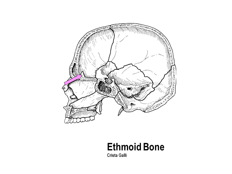 Ethmoid Bone Crista Galli The part with the holes