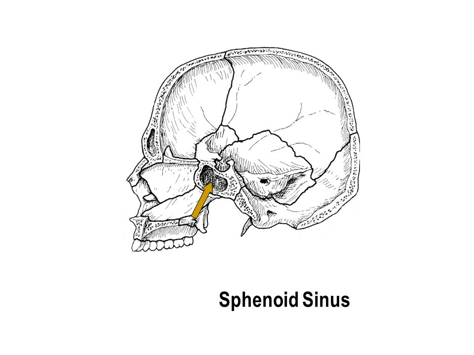 Sphenoid Sinus The part with the holes The part with the holes