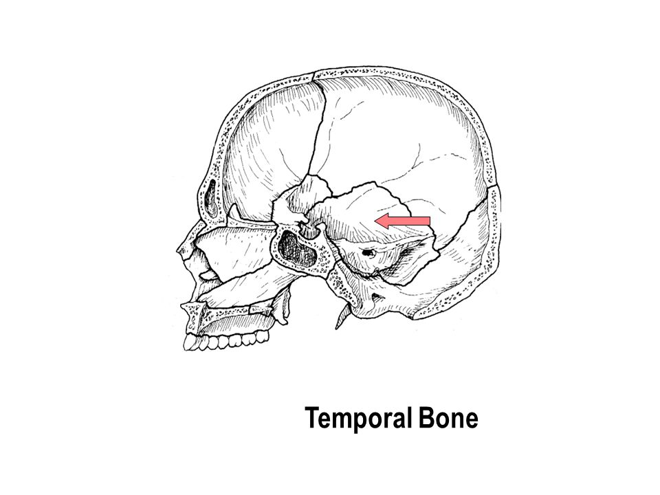 Temporal Bone The part with the holes The part with the holes