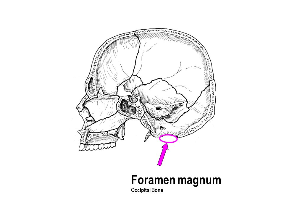 Foramen magnum Occipital Bone The part with the holes