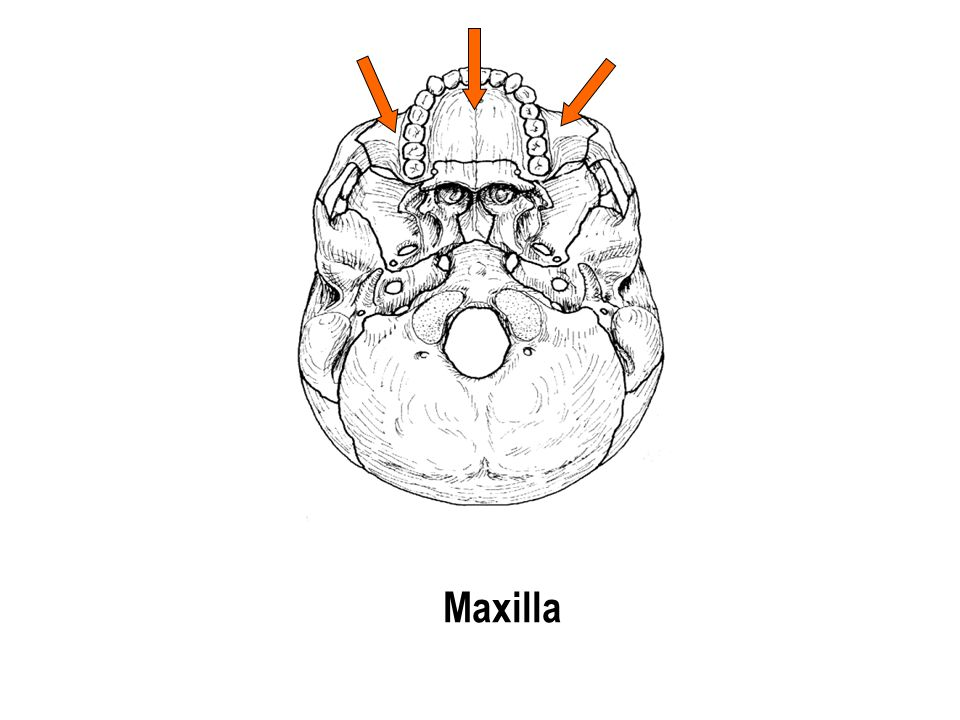 Maxilla The part with the holes The part with the holes