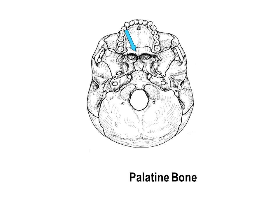 Palatine Bone The part with the holes The part with the holes