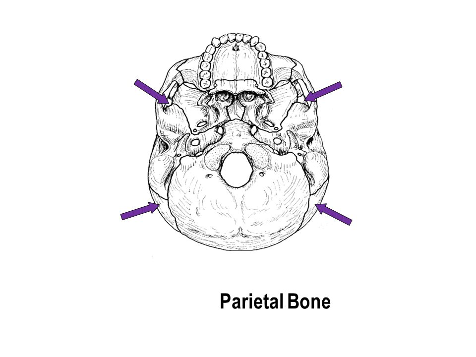 Parietal Bone The part with the holes The part with the holes