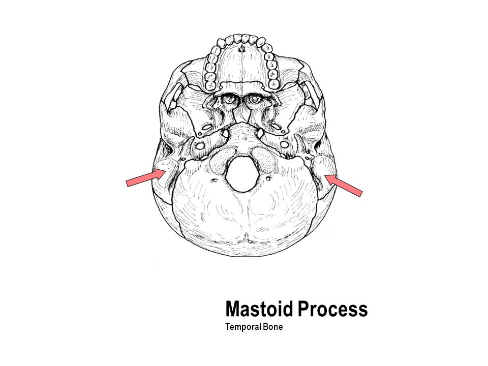 Mastoid Process Temporal Bone The part with the holes