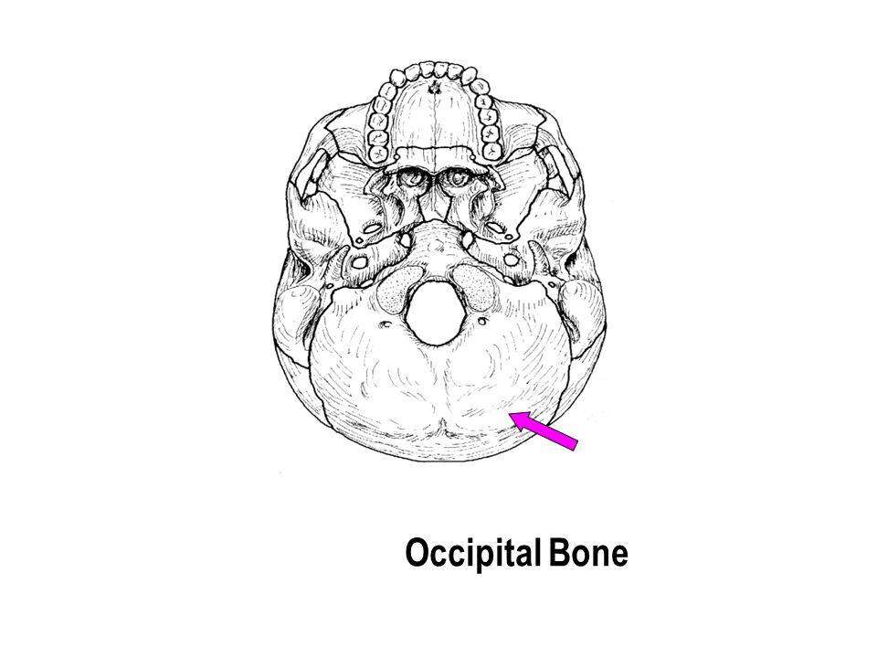 Occipital Bone The part with the holes The part with the holes