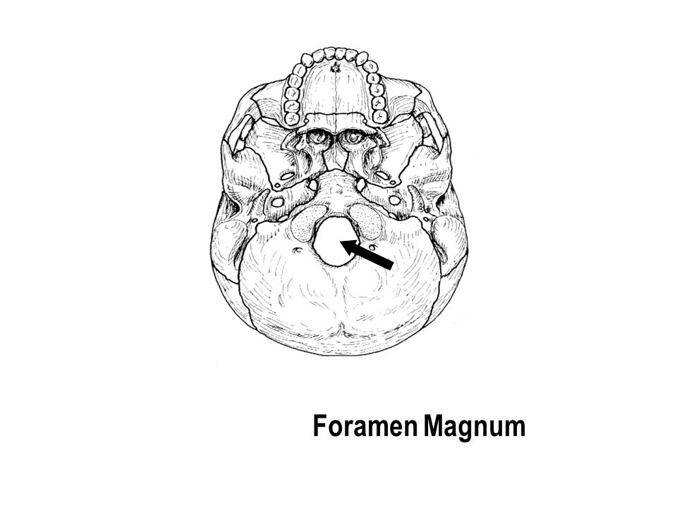 Foramen Magnum The part with the holes The part with the holes
