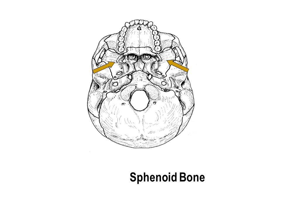 Sphenoid Bone The part with the holes The part with the holes