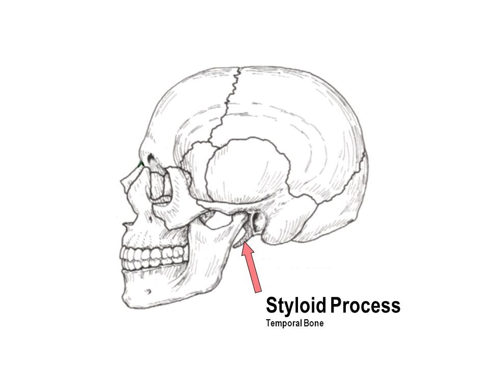 Styloid Process Temporal Bone