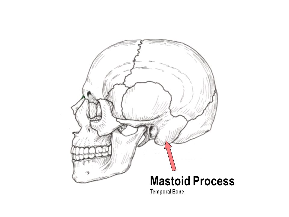 Mastoid Process Temporal Bone
