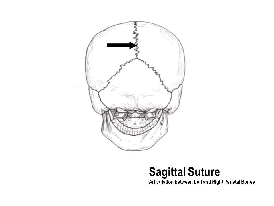 Sagittal Suture Articulation between Left and Right Parietal Bones
