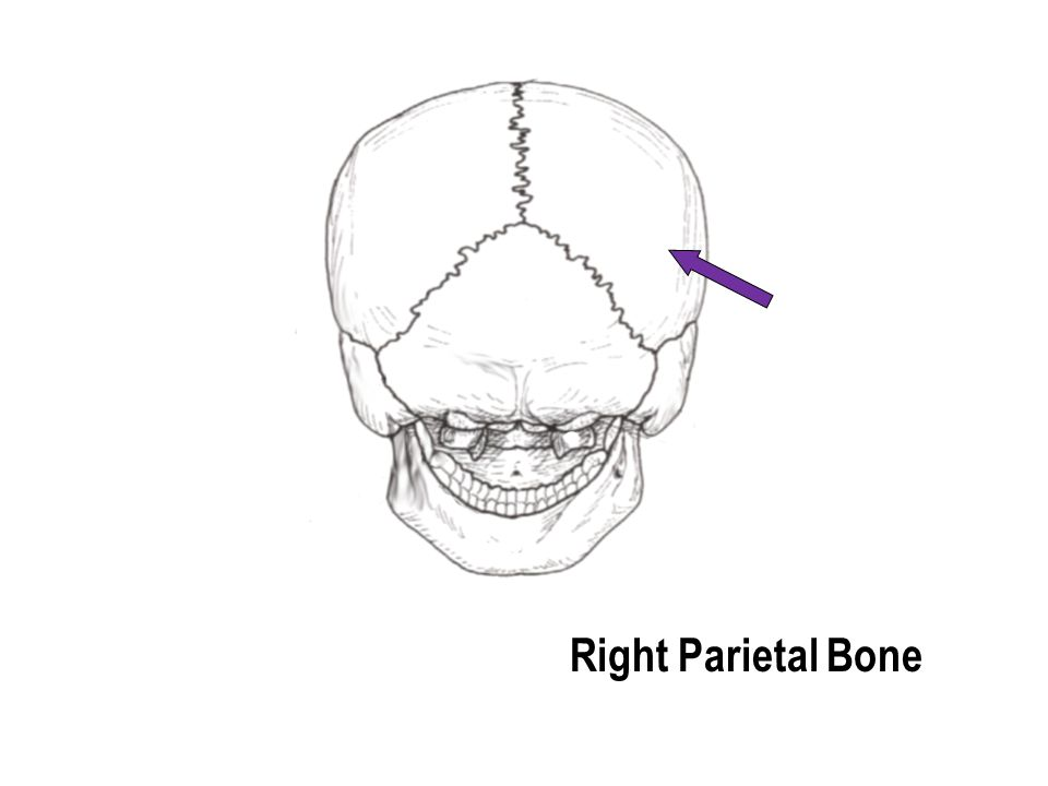 Right Parietal Bone