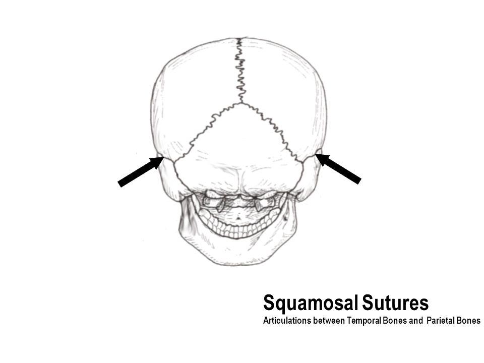 Squamosal Sutures Articulations between Temporal Bones and Parietal Bones