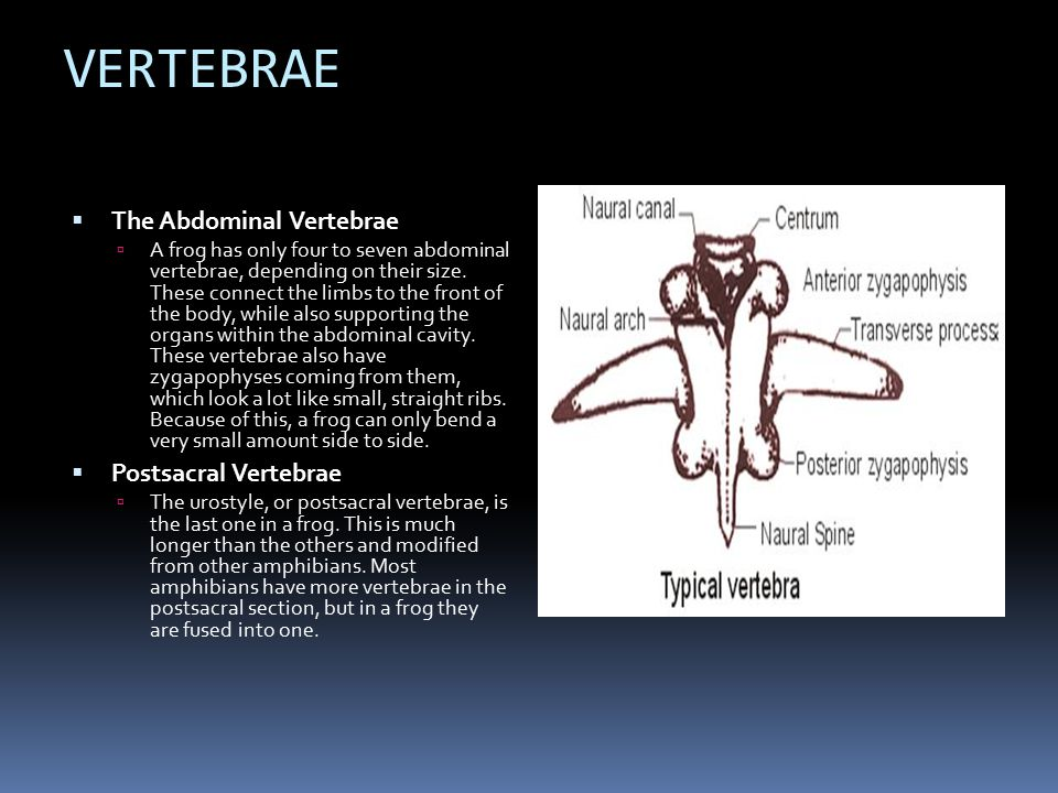 VERTEBRAE The Abdominal Vertebrae Postsacral Vertebrae
