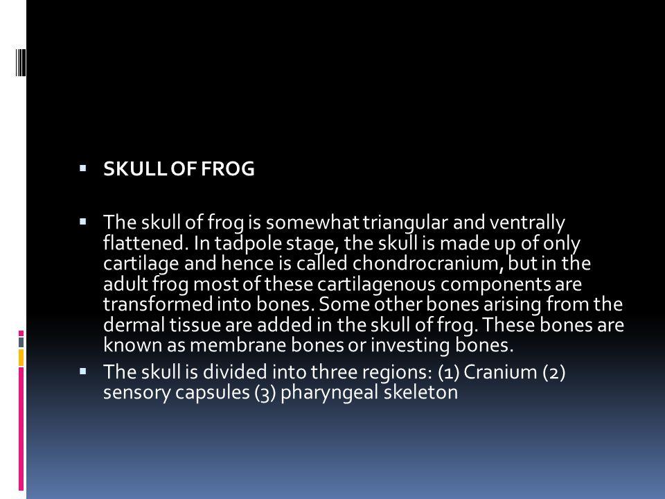 SKULL OF FROG