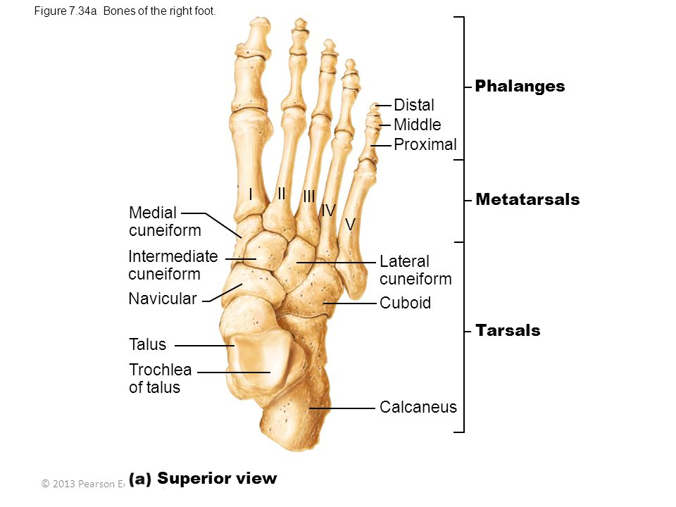 Phalanges Distal Middle Proximal I II III Metatarsals IV Medial