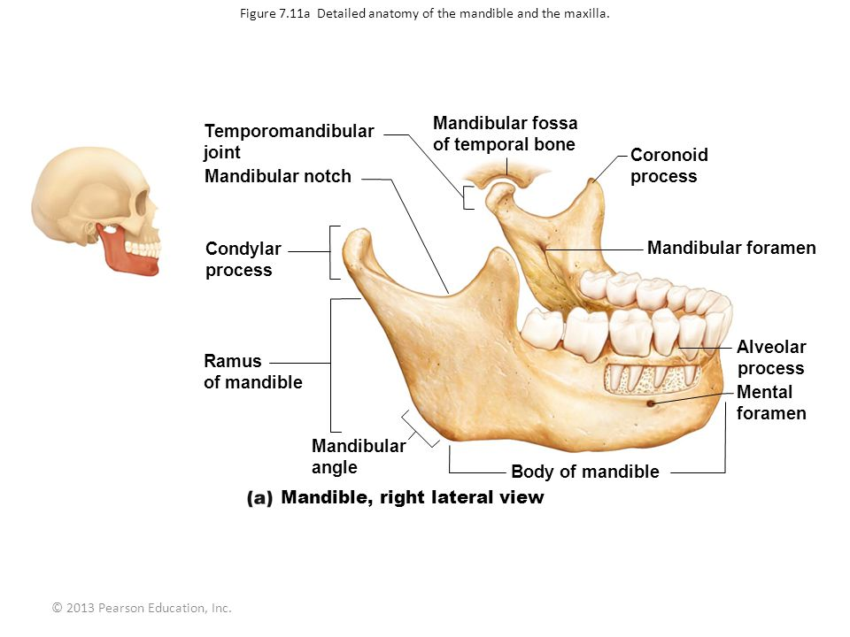 Mandibular condyle anatomy 5244837 - follow4more.info