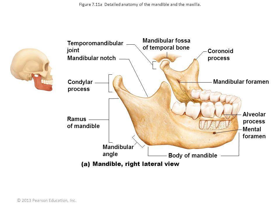 Mandibular Condyle Anatomy 5431617 Follow4morefo