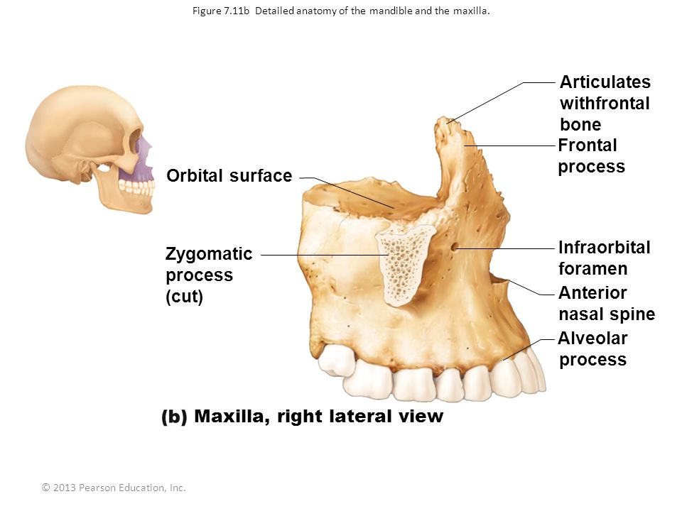Figure 7.11b Detailed anatomy of the mandible and the maxilla.