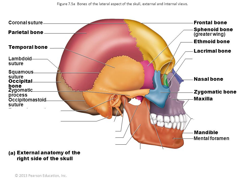 External anatomy of the right side of the skull Mandibular angle