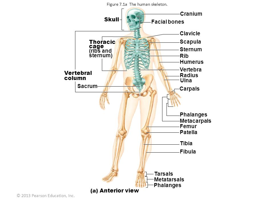 lecture 6 chapter 7: the skeleton - ppt download, Skeleton