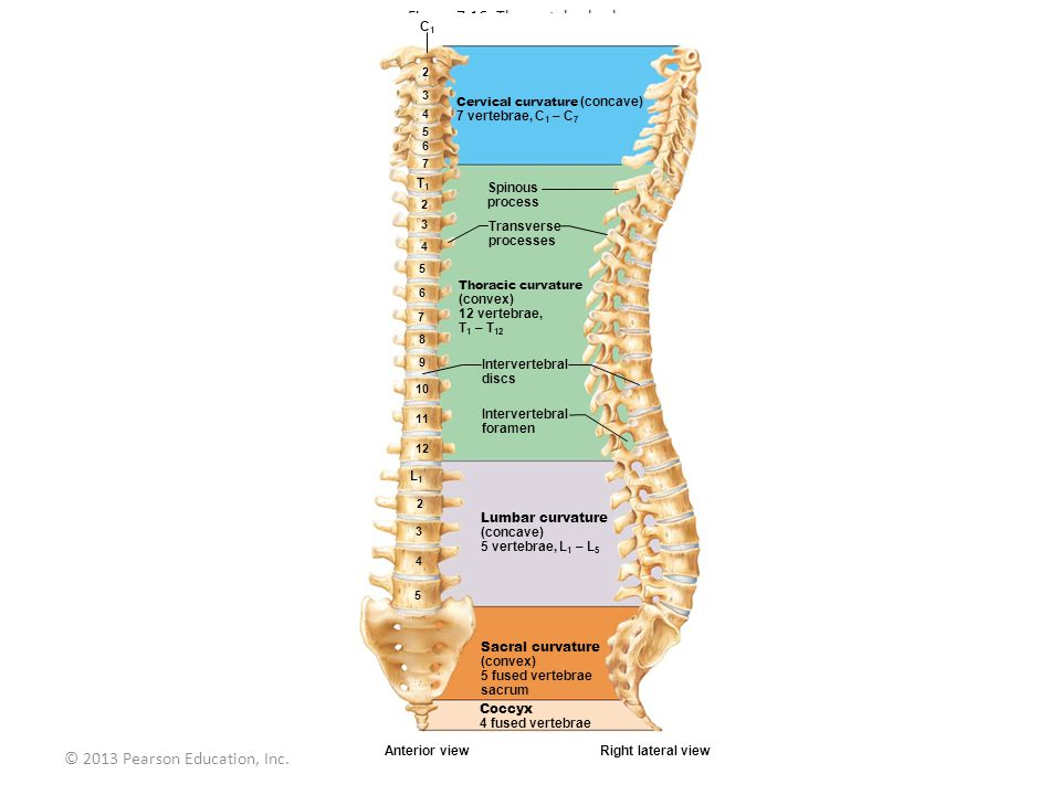 Figure 7.16 The vertebral column.