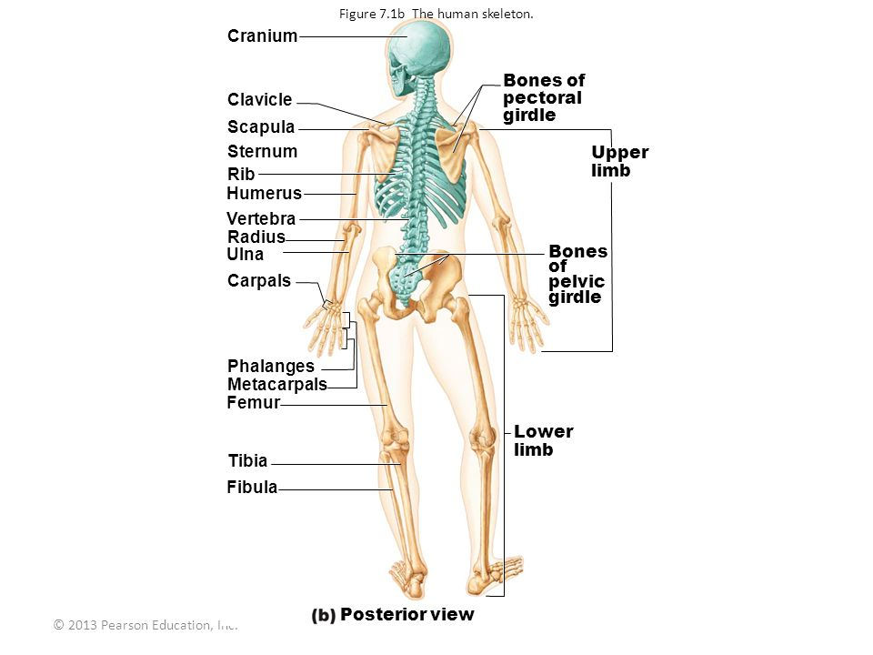 Figure 7.1b The human skeleton.