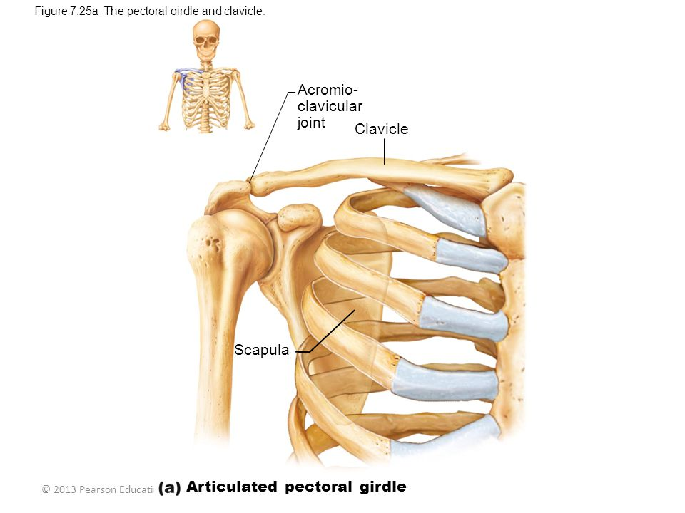 Articulated pectoral girdle