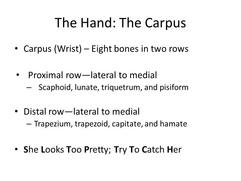 The Hand: The Carpus Carpus (Wrist) – Eight bones in two rows