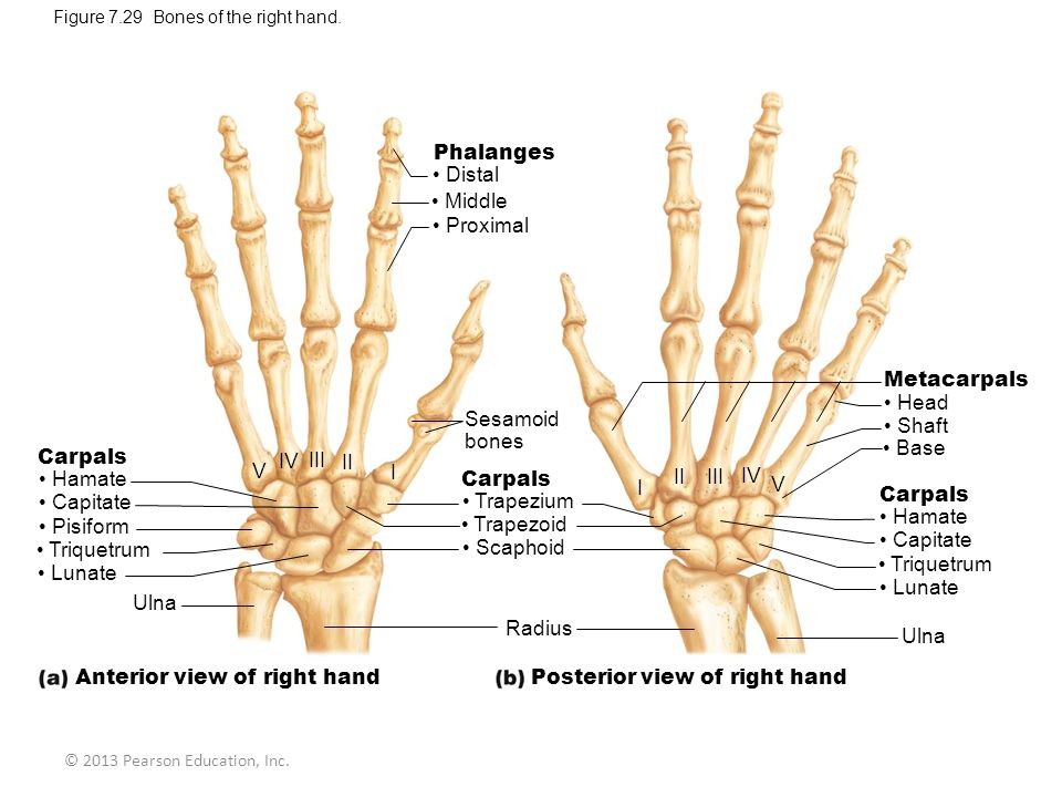 Anterior view of right hand Posterior view of right hand