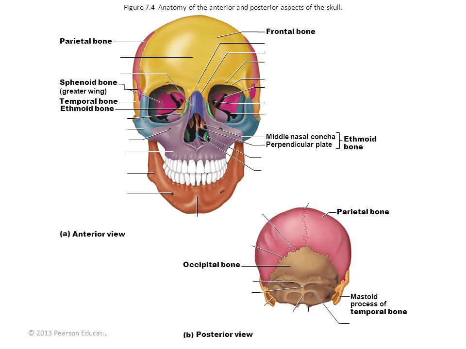 Figure 7.4 Anatomy of the anterior and posterior aspects of the skull.
