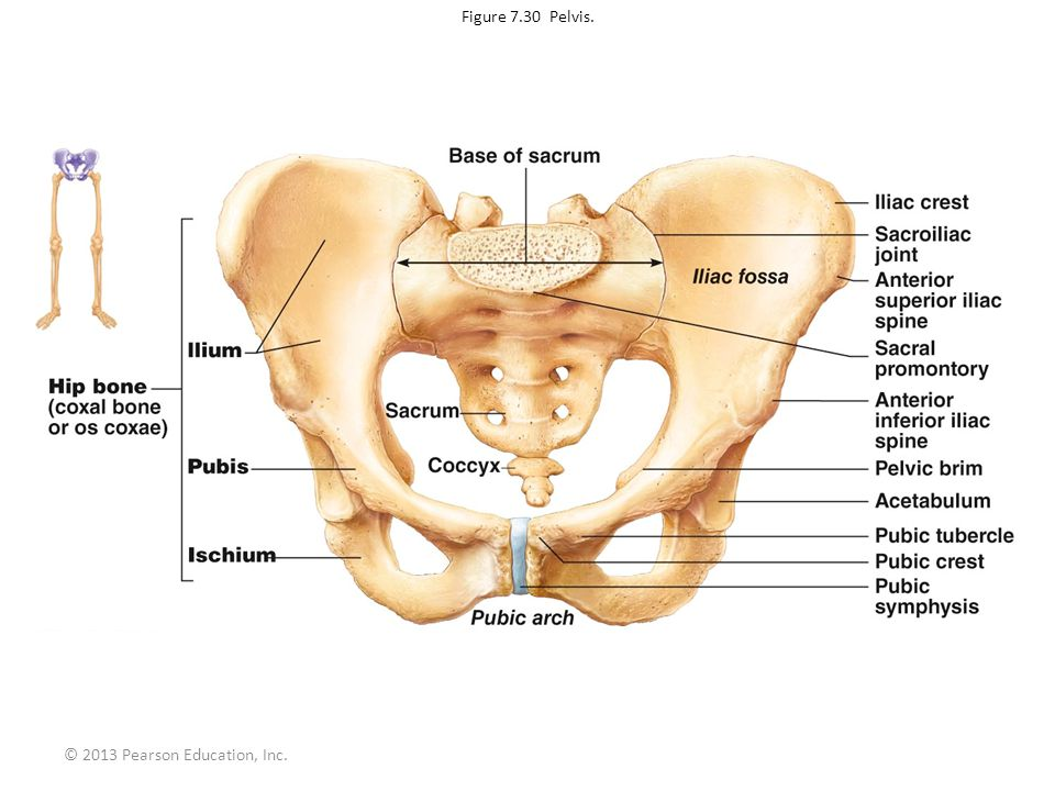 Figure 7.30 Pelvis. © 2013 Pearson Education, Inc.