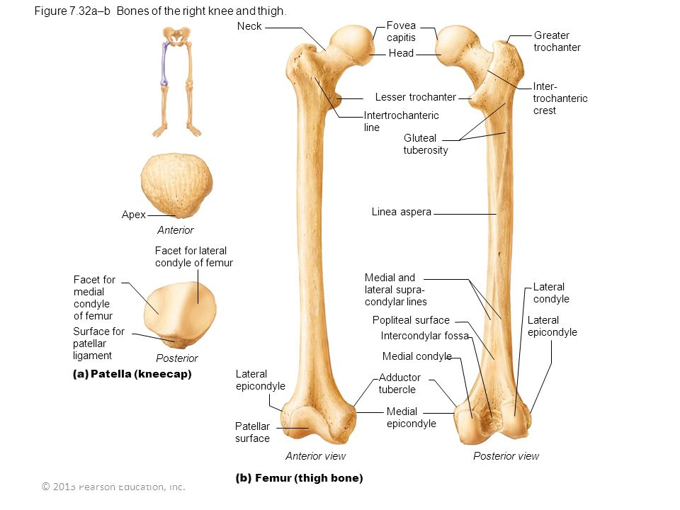 Figure 7.32a–b Bones of the right knee and thigh.