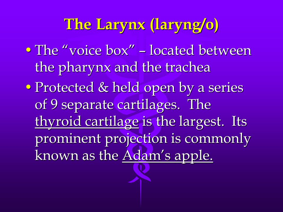 The Larynx (laryng/o) The voice box – located between the pharynx and the trachea.