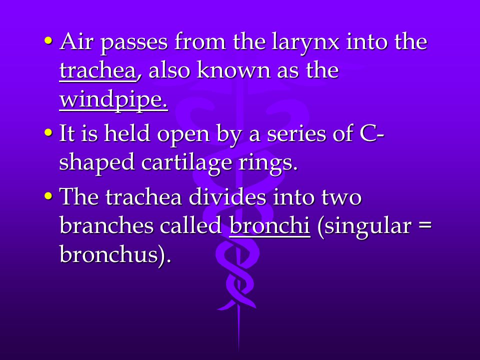 Air passes from the larynx into the trachea, also known as the windpipe.