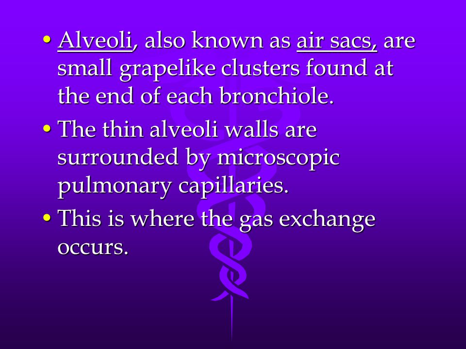 Alveoli, also known as air sacs, are small grapelike clusters found at the end of each bronchiole.