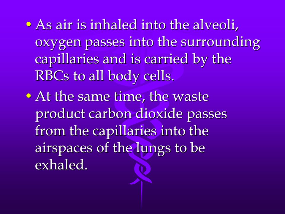 As air is inhaled into the alveoli, oxygen passes into the surrounding capillaries and is carried by the RBCs to all body cells.