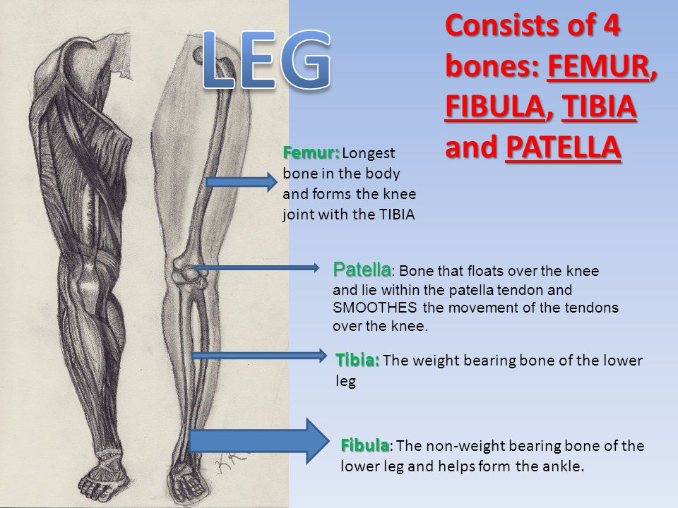LEG Consists of 4 bones: FEMUR, FIBULA, TIBIA and PATELLA