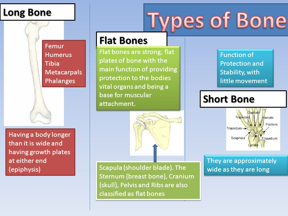 Types of Bone Long Bone Flat Bones Short Bone Femur Humerus Tibia