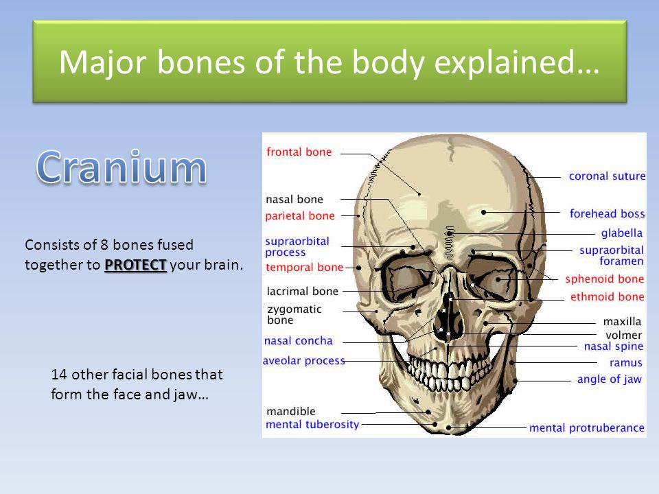 Major bones of the body explained…