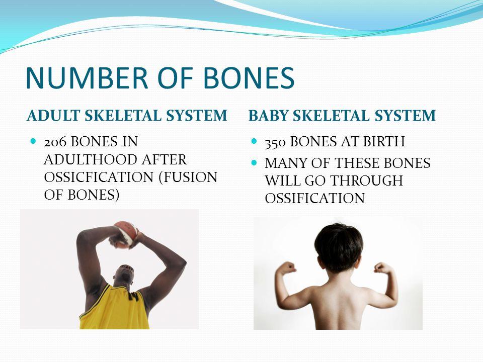 NUMBER OF BONES ADULT SKELETAL SYSTEM BABY SKELETAL SYSTEM