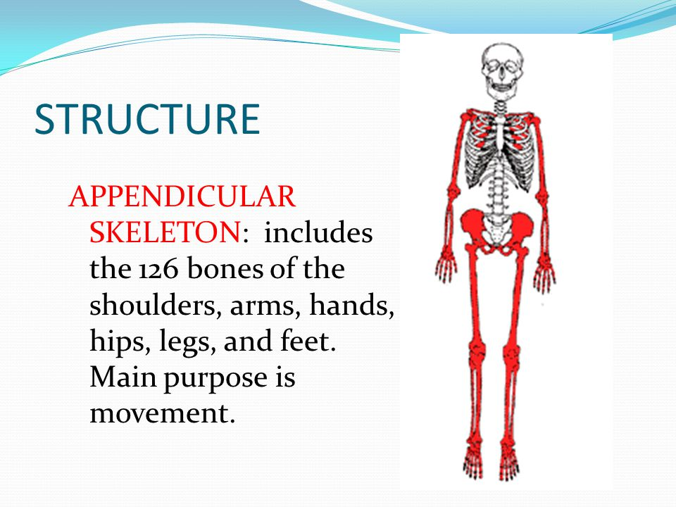 STRUCTURE APPENDICULAR SKELETON: includes the 126 bones of the shoulders, arms, hands, hips, legs, and feet.